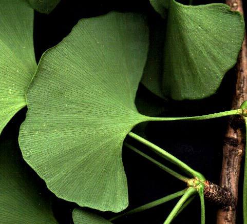 Ginkgo Leaf.jpg