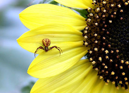 spider on sunflower
