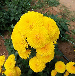 Mari Gold Flower Seedlings