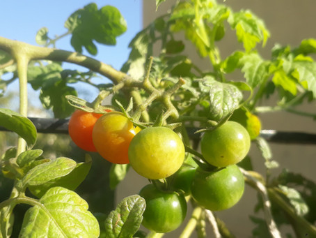 Why are My Hydroponics tomato blossoms Falling off?