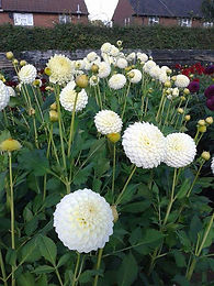Guelder-Rose (Pom Pom) Flower Seedlings