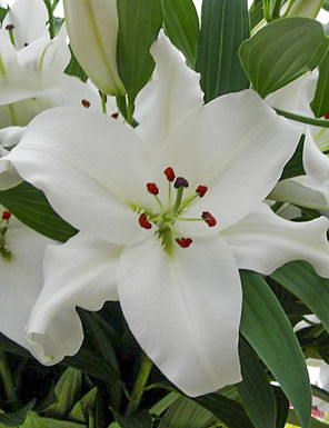 Lily -Rialto