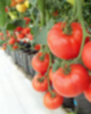 tomatoes-936520_1920.jpg