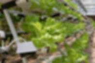 hydroponics-4255403_1920.jpg