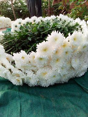 CHRYSANTHEMUM, Sevanti Flowers Seedlings