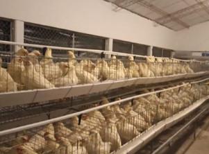 Catamarca: Comenzó a producir el polo avícola de Andalgalá
