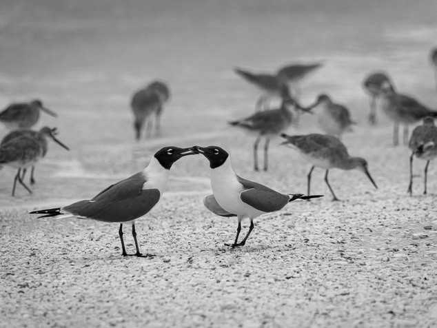 laughing gull tug-of-war