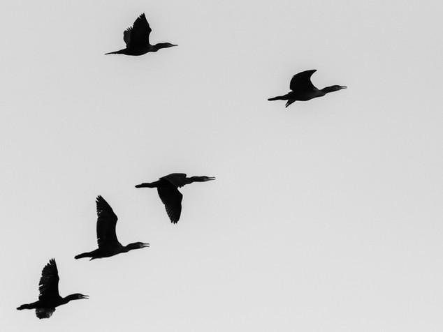 cormorant silhouettes