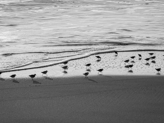 sanderlings and waves