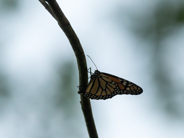 butterfly and twig