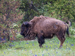 bison and wildflowers