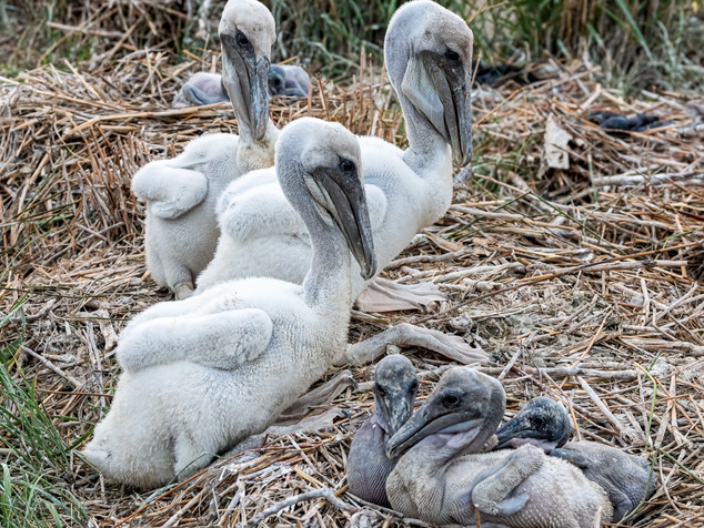 two pelican chick broods