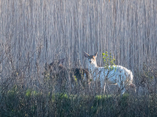 piebald deer and two others