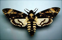 Baroness Buttercup Moth
