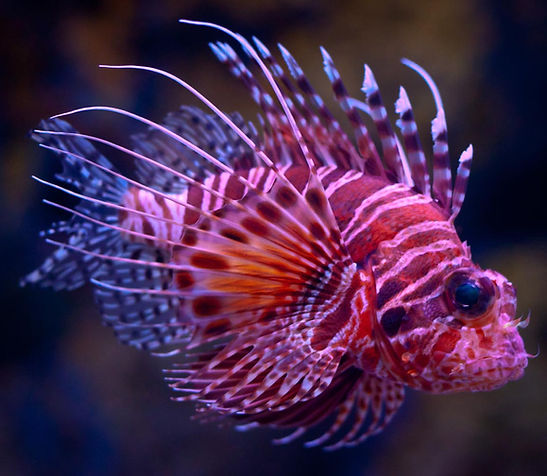 lionfish, tropical fish, invasive species