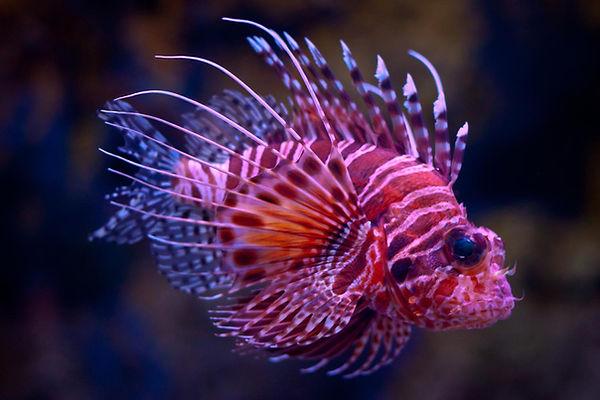 A dwarf lionfish