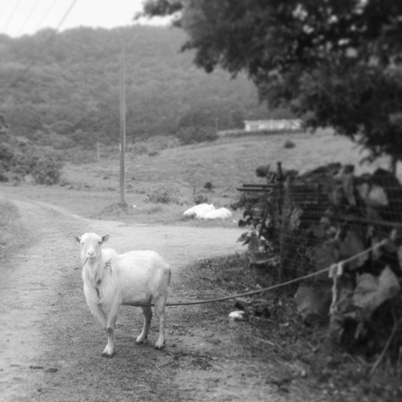 石垣島のヤギ