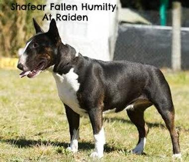 Raiden Bull Terriers