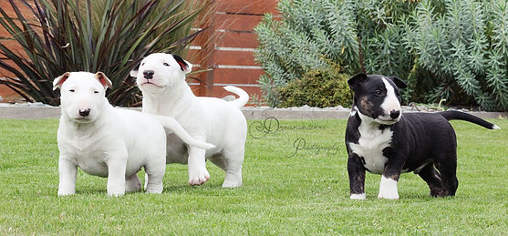 Raiden Bull Terrier Puppies