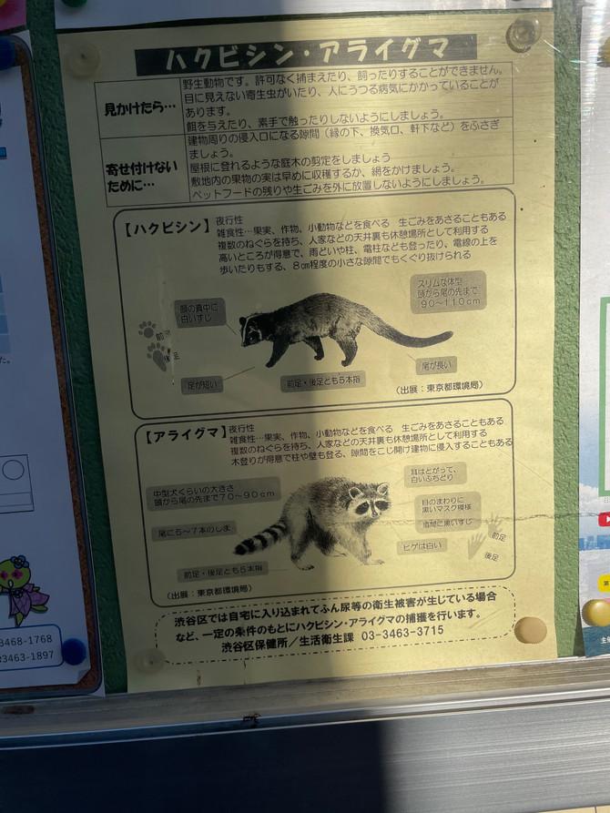 渋谷に野良アライグマ。。。