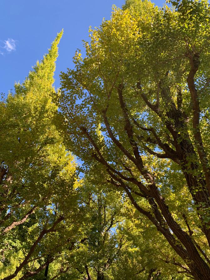 秋のイチョウ並木◇
