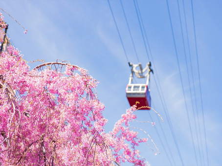 The History Behind the Roosevelt Island Cherry Blossom Festival