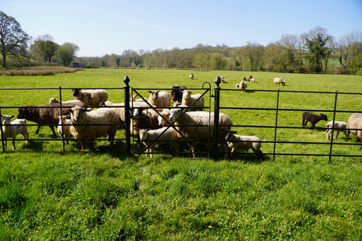 Sheep Proof Pedestrian Gate