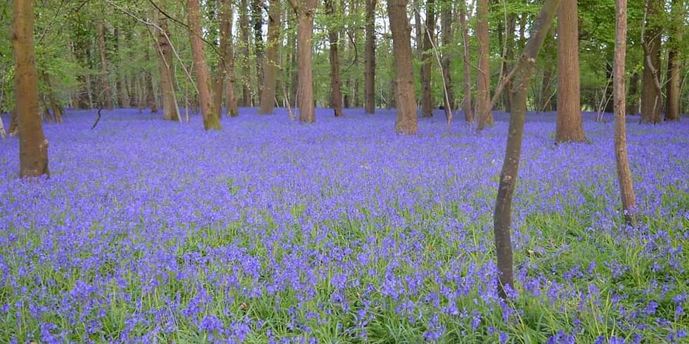 Alice in a bluebell wonderland!