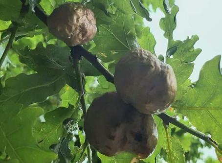 Funny shaped acorns?