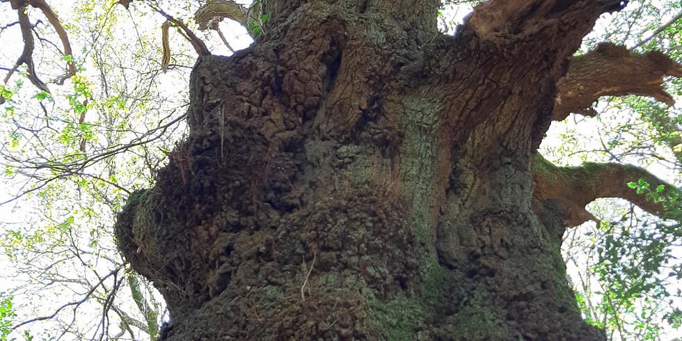Oak themed walk revisited!