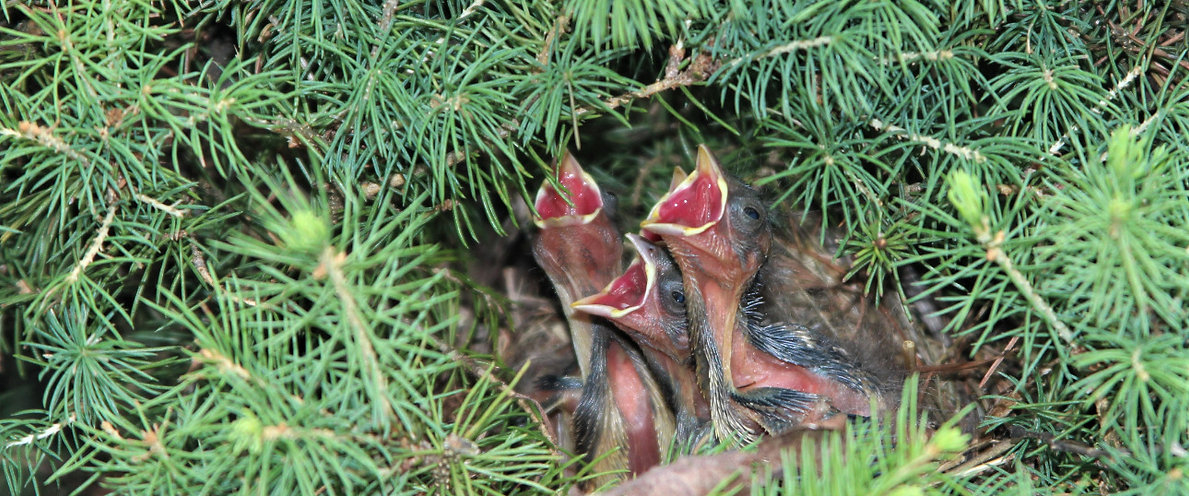 Baby Birds in natural environment