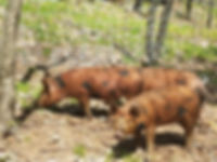 Pigs wells vermont