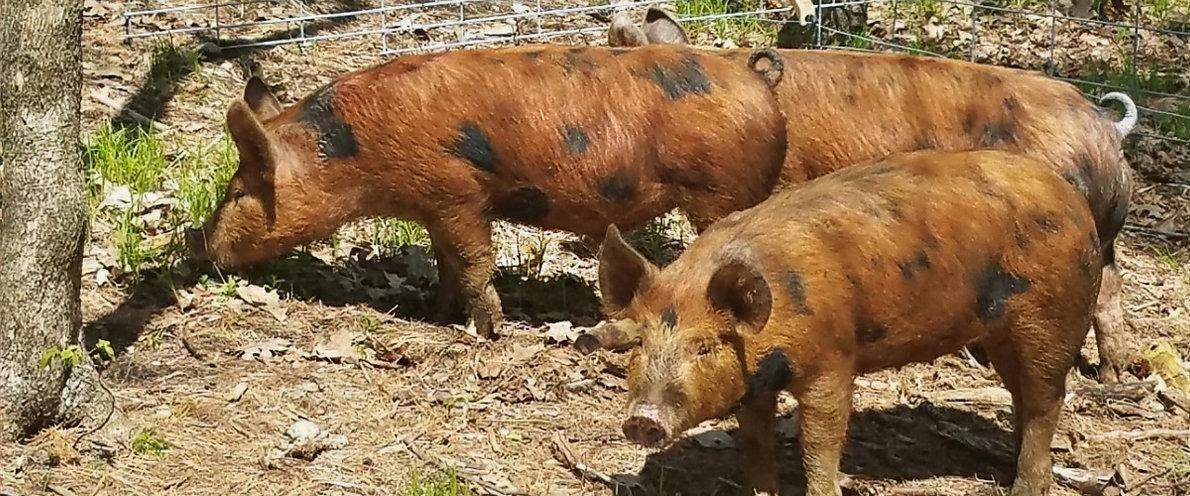 Feeding pigs at farm wells Vermont