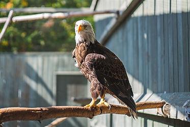 Bald Eagle Vermont