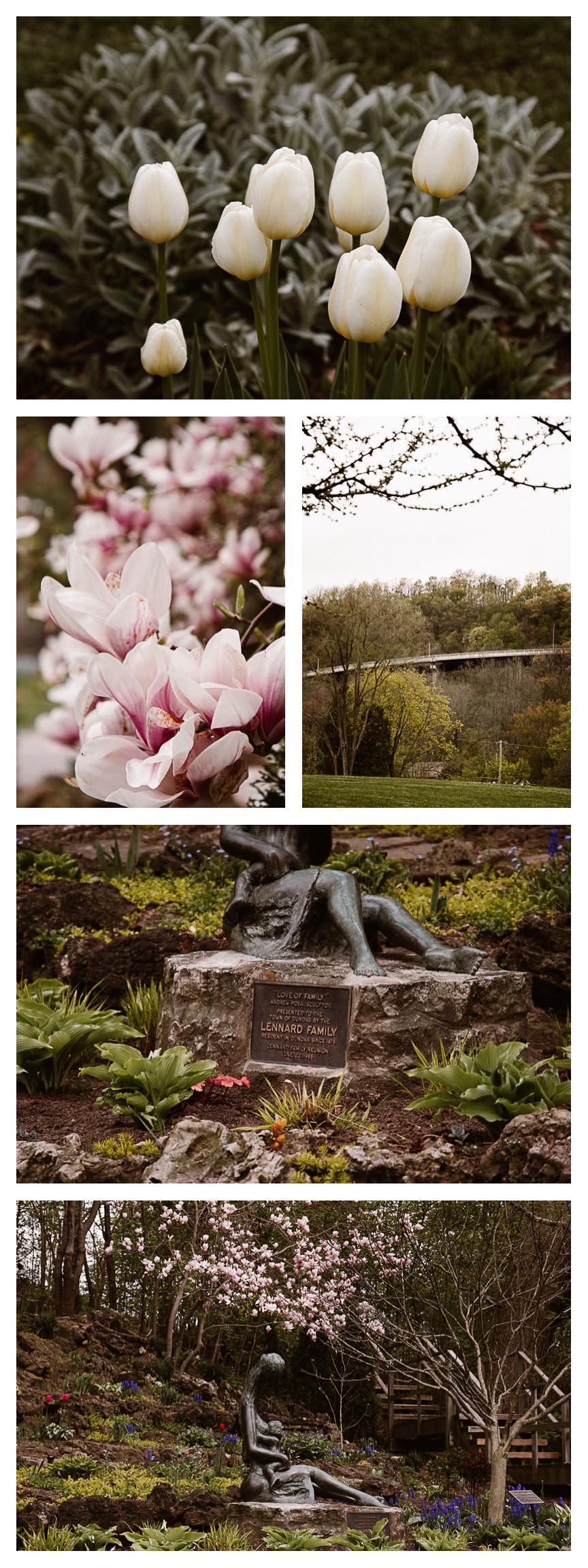white tulips magnolia trees dundas driving park hamilton ontario
