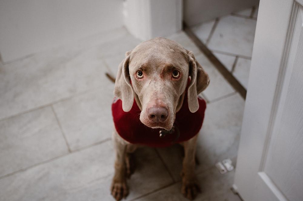 weimaraner dog wearing a sweater