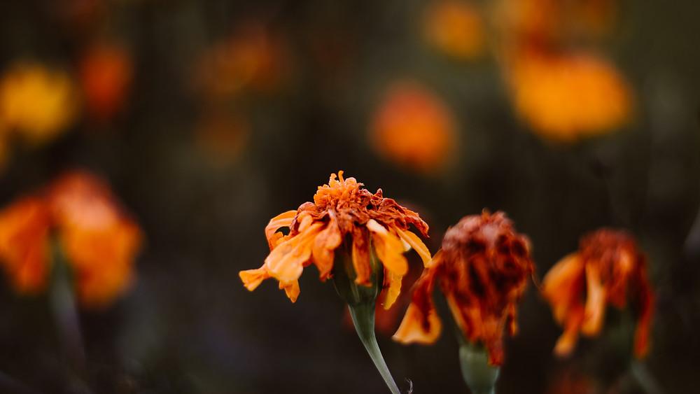 dying marigold flower free desktop wallpaper download