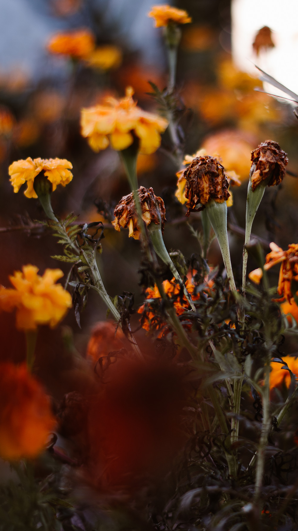 dying marigolds free phone wallpaper download
