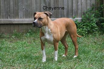 """PR Calderon's Marauder Cheyenne Star"""