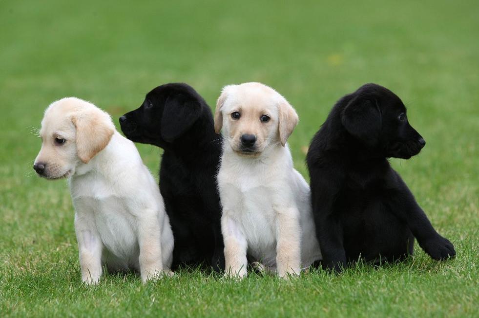 four-labrador-puppies.jpg