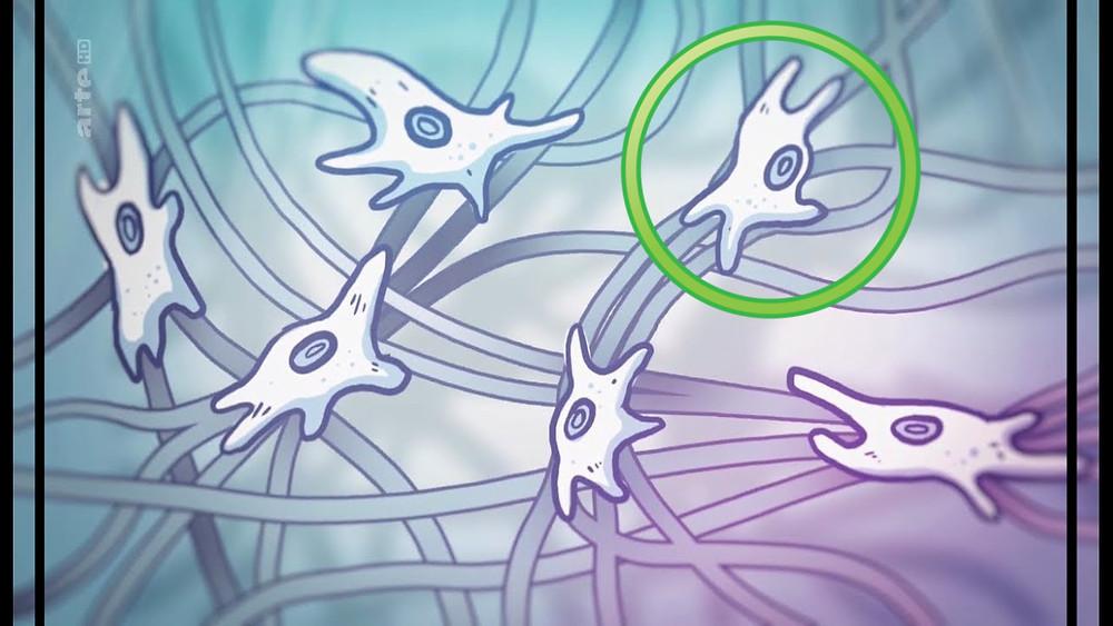 dessin de fibroblastes