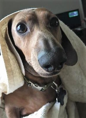 dachshund looking at you