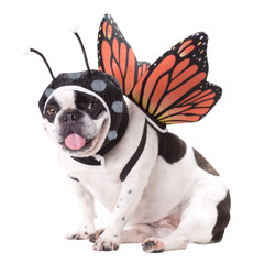 Animal-Planet-Butterfly-Dog-Halloween-Costume-a24c16fd-7ccc-48f9-a889-40b424f15b84_1000