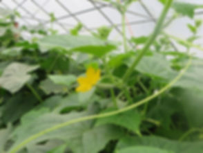 hoophouse cucumbers baby with flower.JPG