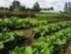 lettuce field with sky hoophouse.JPG