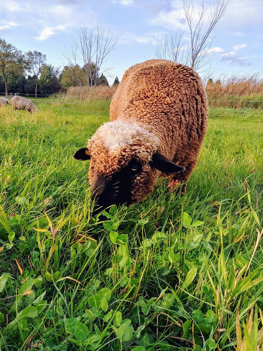 A fluffy brown sheep eating grass on a sunny day under blue skies. Photo Credit: Dresow Family Farm