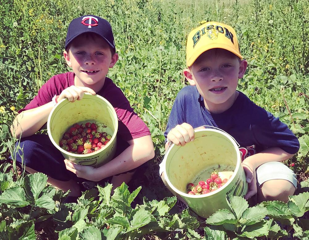Picking strawberries a Garden Hills Berry Farm