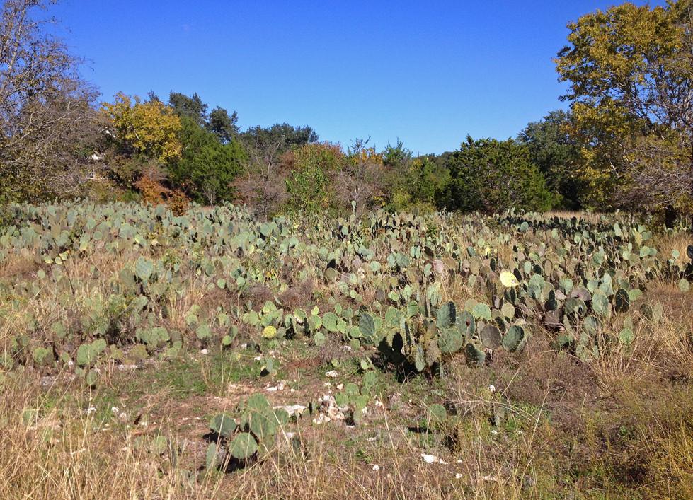 Wild Cacti In Austin Texas