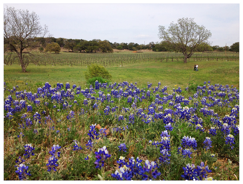 Texas Wine Country Bluebonnets