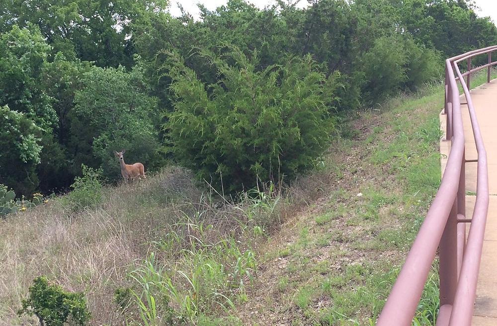 Wild Deer At Brushy Creek Regional Trail